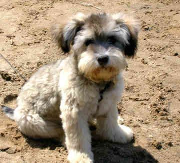 Puppie Nice Picture Schnoodle Schnoodle Puppy Snoodle Puppies