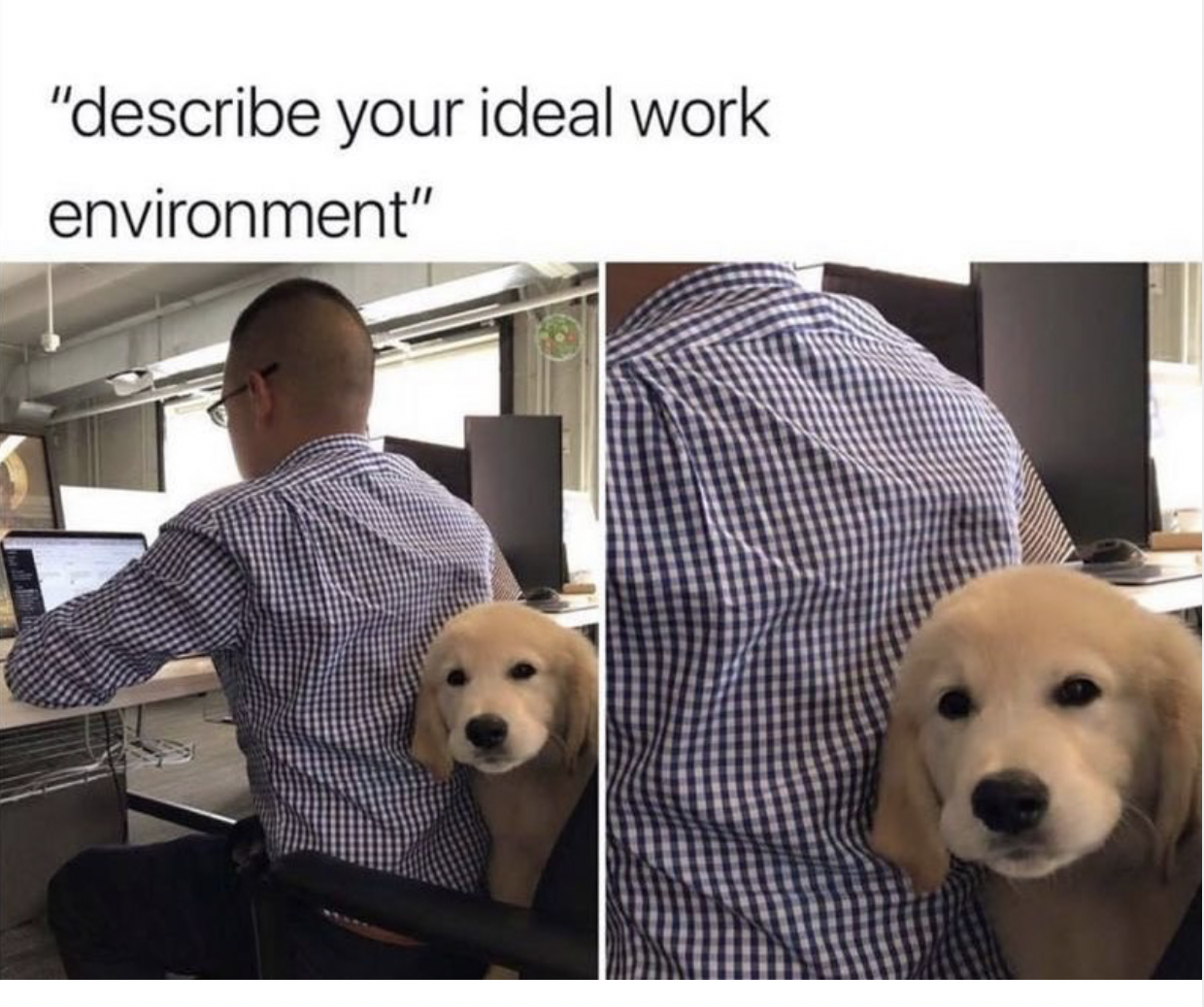 Ideal Work Environment In 2021 Golden Retriever Funny Really Funny Pictures Funny Animals