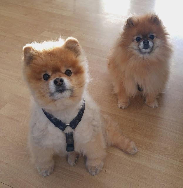 Cara Merawat Anak Anjing Minipom Anak Anjing Anjing Anjing Pomeranian