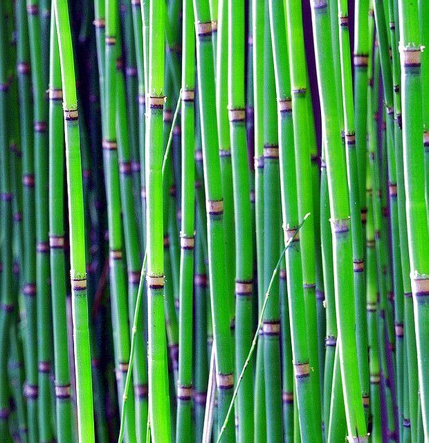 Equisetum hyemaletokusa by nobuflickr, via Flickr