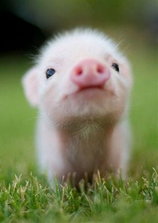 It S The Weekend It S Finally The Weekend Celebrate Your Friday Feeling By Finding Out Which Of Thes Cute Baby Pigs Cute Little Animals Baby Animals Pictures