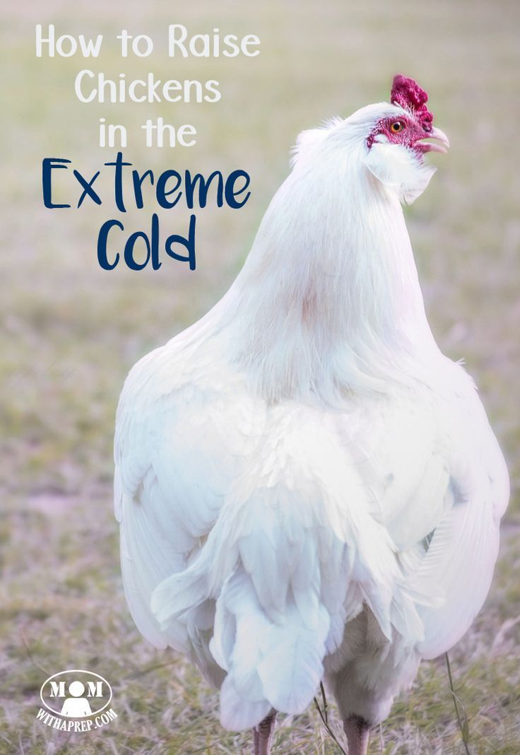 How to Care for Chickens in the Extreme Cold | Chickens ...