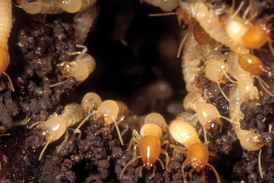 Termites Are Of The Most Destructive Pests Around The World They Can Eat Away Your Wood Furniture Under Termite Prevention Termite Control Termite Treatment