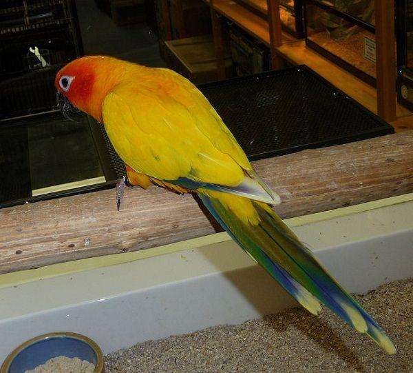 Pied Sun Conure   Conures   Conure, Pet birds, Parrot facts
