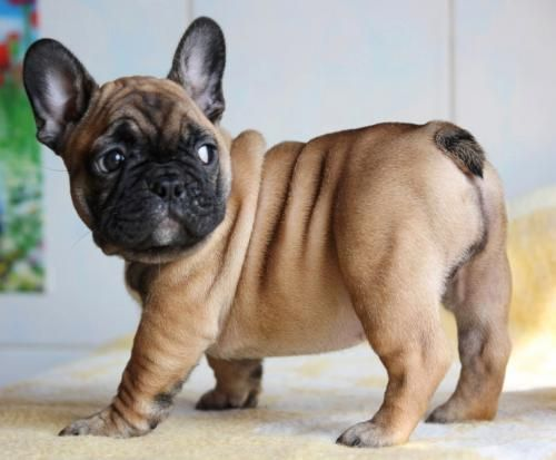 french-bulldog-cute-puppy jpg (500×413) | puppies