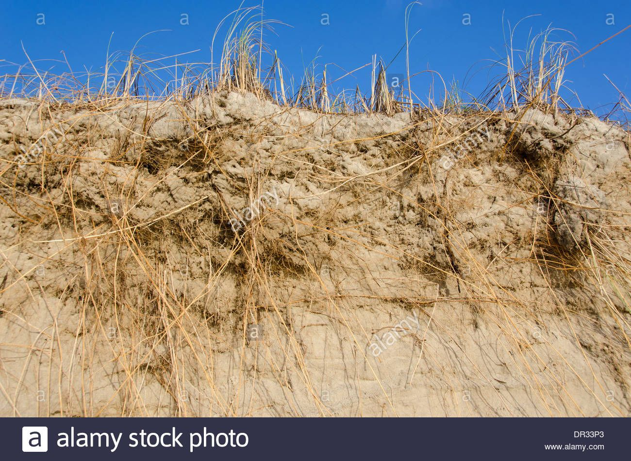 Marram Grass, Ammophila And Their Root System As Seen From Below Stock Photo, Royalty Free Image: 65837019 - Alamy