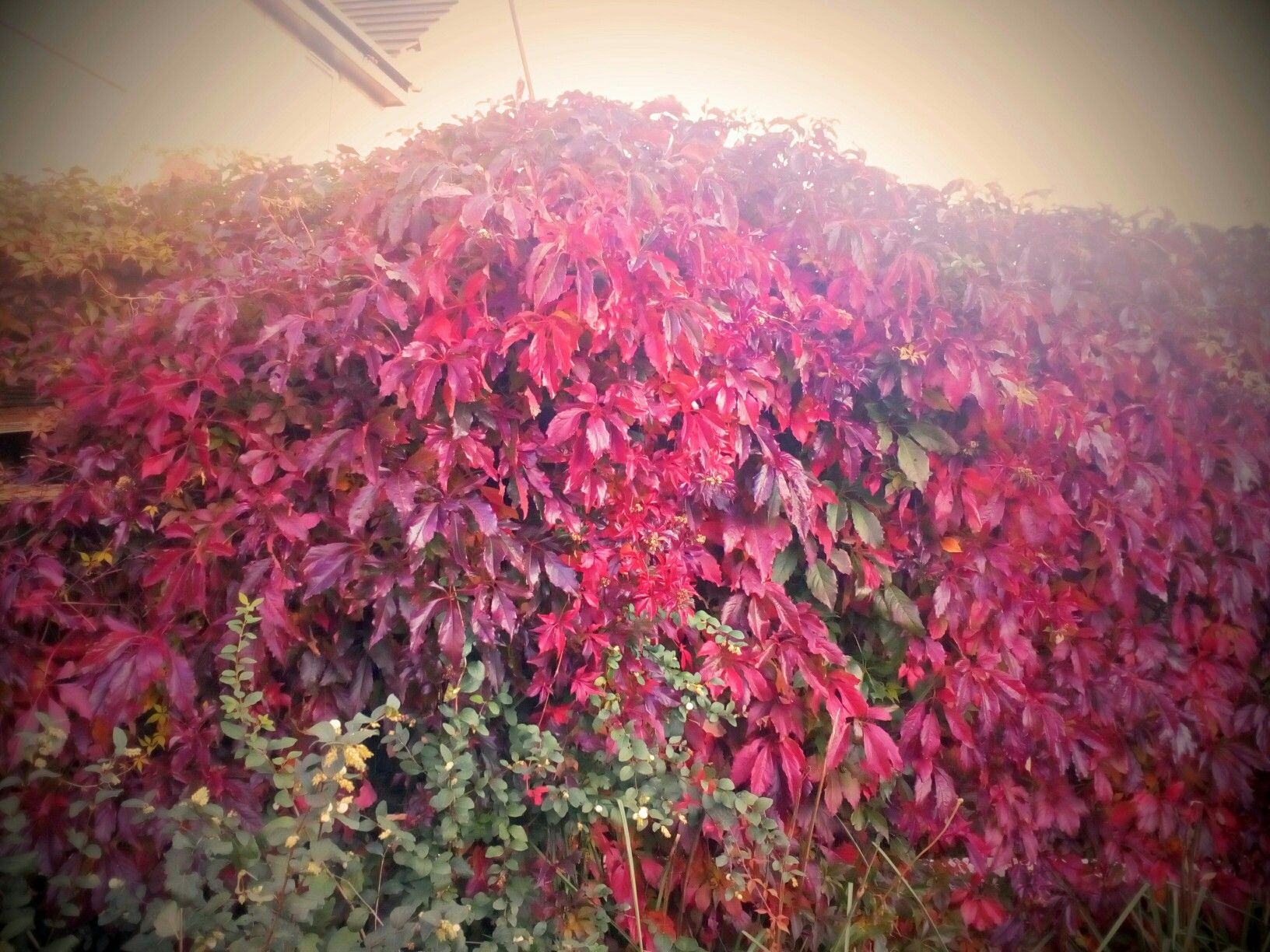 Best part of the year,Virginia Creeper in full glory