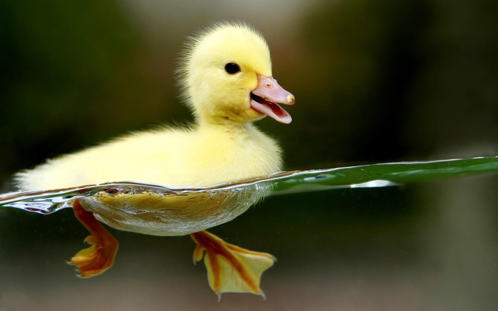 cute fluffy duckie