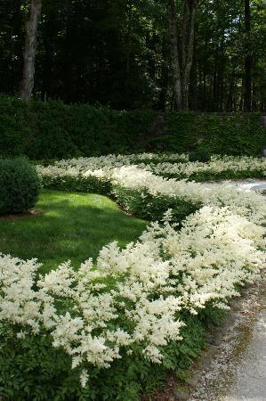 (Prachtspieren): gut für den Halbschatten, passen gut zu Rhododendron, sehen im Winter interessant aus.
