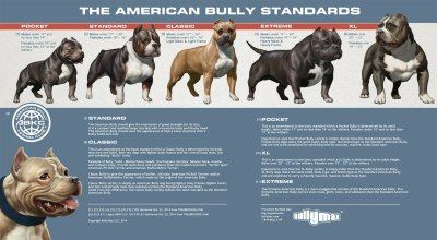 American Bully Classes Side By Side American Bully Bully Breeds Dogs Bully Breeds