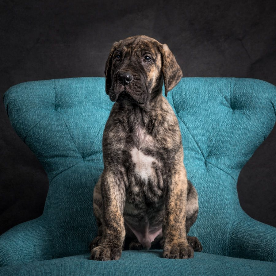 Great Dane Puppies Va Dog Photographer Great Dane Puppy Dogs