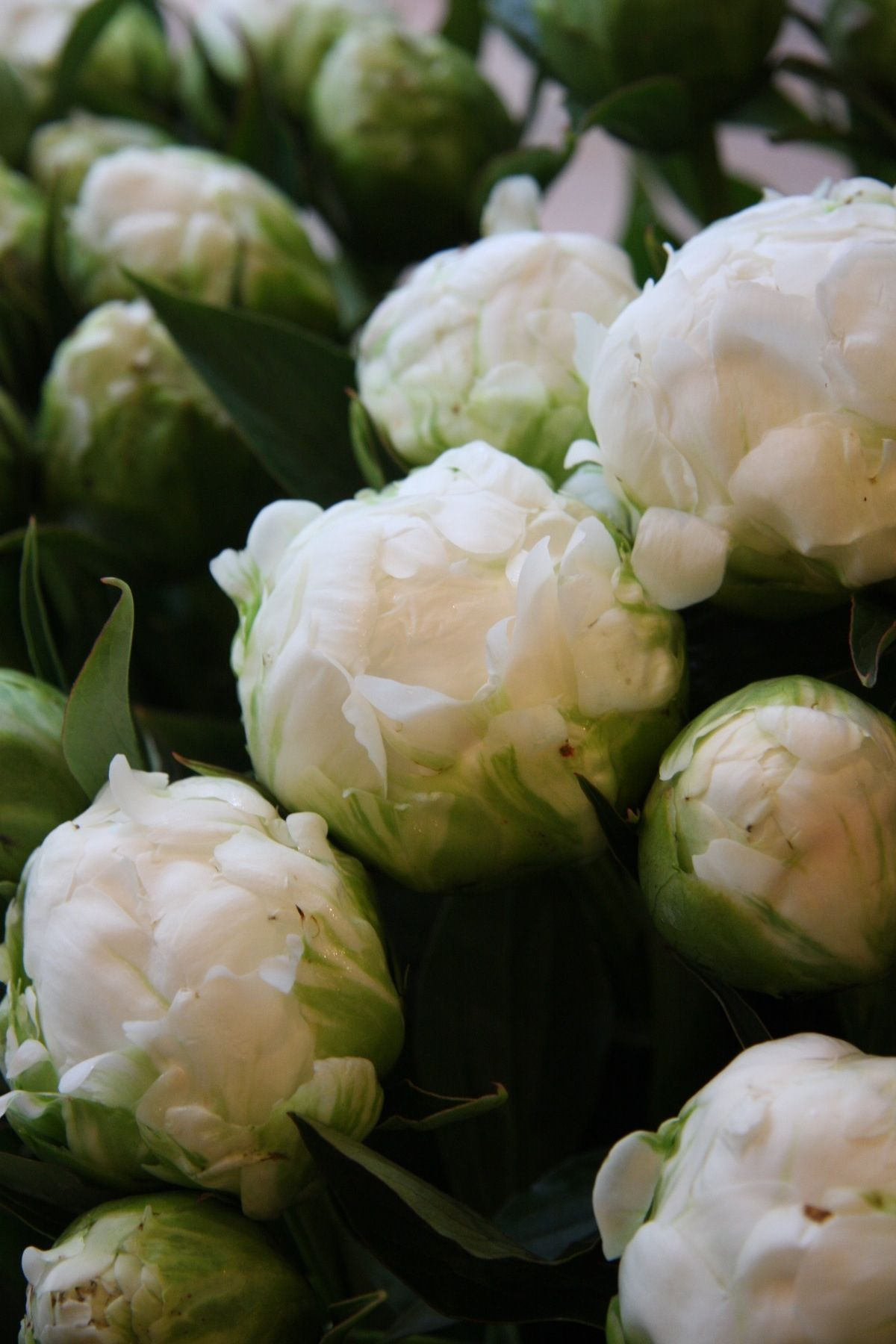Photo Zsazsa Bellagio Tumblr White Peonies Peony And Flowers