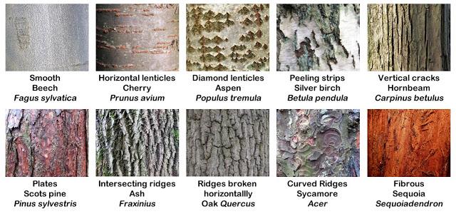 Absolutely Barking Tree Identification Tree Bark Identification Tree Identification Chart