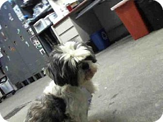 Fairfield Ca Shih Tzu Meet A180615 A Dog For Adoption Pets Dog Adoption Kitten Adoption
