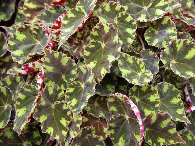 Rhizomatous Begonias Flores Jardim Flores De Croche