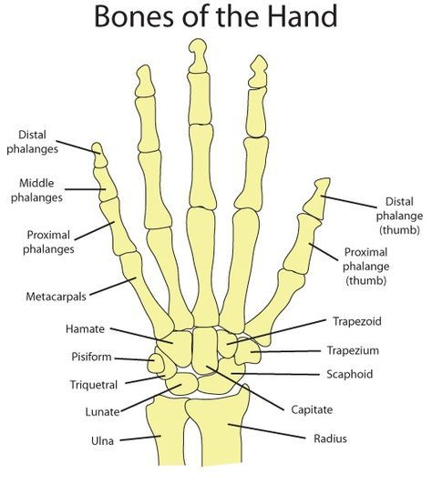 Hand Bones Diagram - Block And Schematic Diagrams •