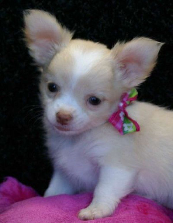 Puppy Mill Rescued Senior Chihuahua Dog For Adoption In Venice