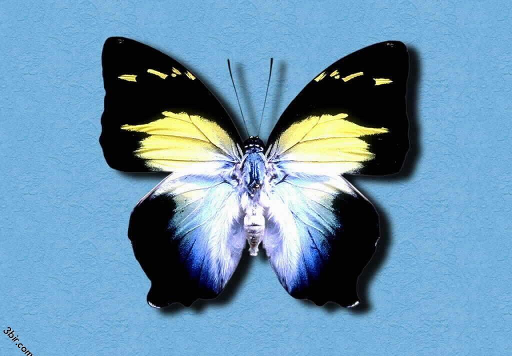 صور فراشات طبيعية رائعه جدا منتديات عبير Animals Collection Insects
