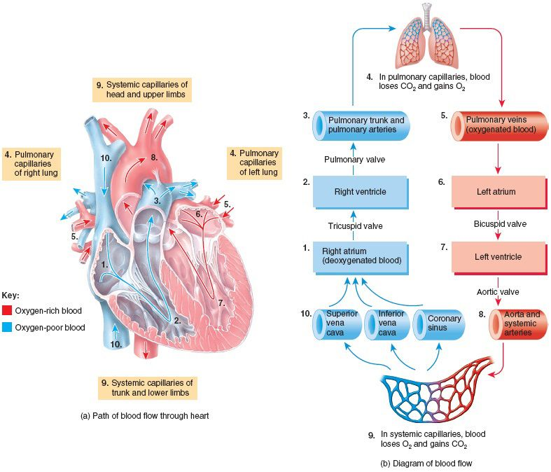 ap 2 cardiovascular system The heart as main component of the cardiovascular system blood vessels   po + 1/2 (pm – po) = p represents the average blood pressure in the ventricles.