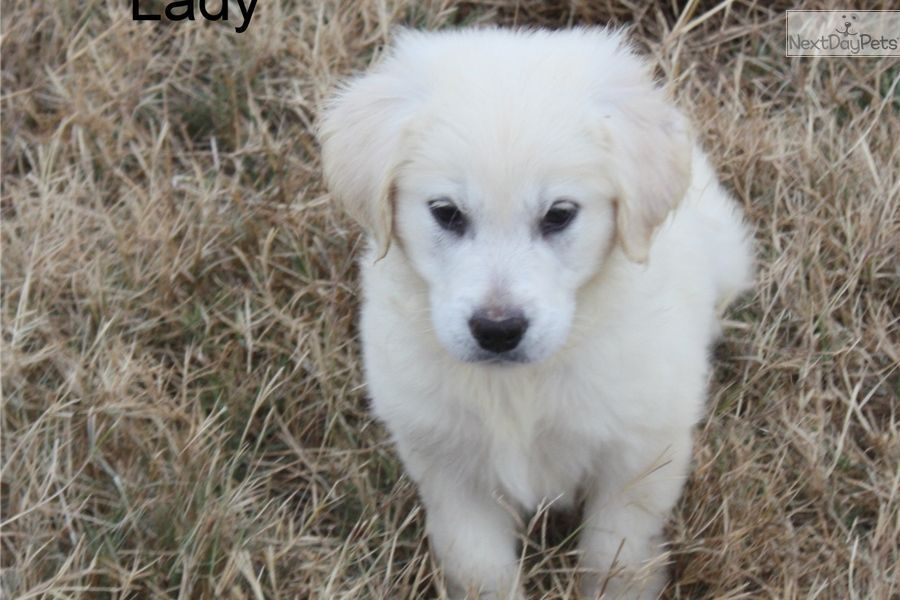 Golden Retriever Puppy For Sale Near Huntsville Decatur Alabama