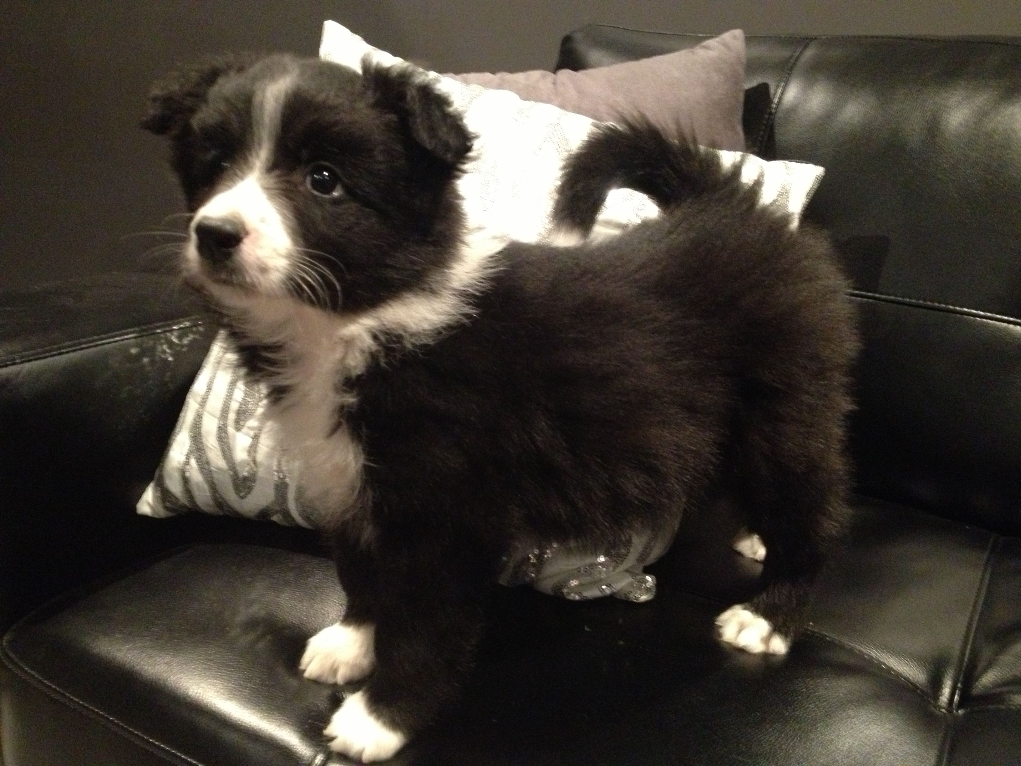 Border Collie Puppy. OH MAI GAHD (With images) Border