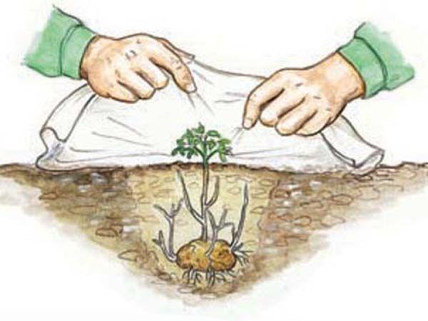 Kartoffeln Pflanzen Und Ernten Kartoffeln Pflanzen Kartoffeln Und