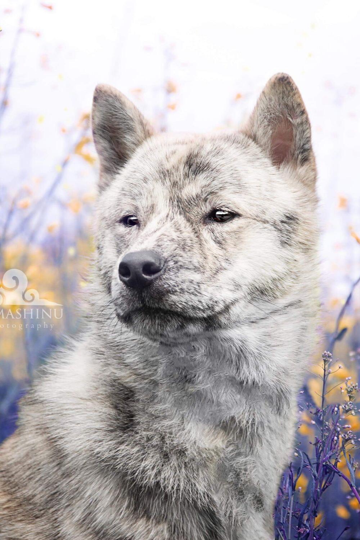 Tamashinu Hokkaido Ken Inu Hunderassen Hunde Rassen Hunderasse