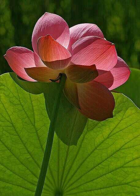 Pin by Mona Moni on Lotus   Water lilies. Lotus flower. Flowers