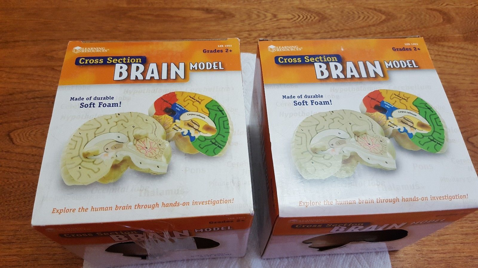 Cross Section Brain Model Anatomy Learning Tools Kids Toys ...