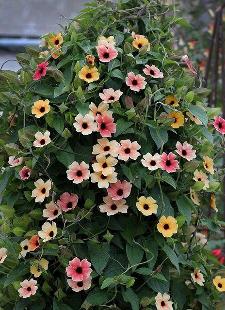 Thunbergia alata spanish eyes twinkling create a garden black eyed susan vinespanish eyes thunbergia alata mightylinksfo