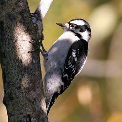 Identify Downy Woodpecker   Downy woodpecker, Backyard ...
