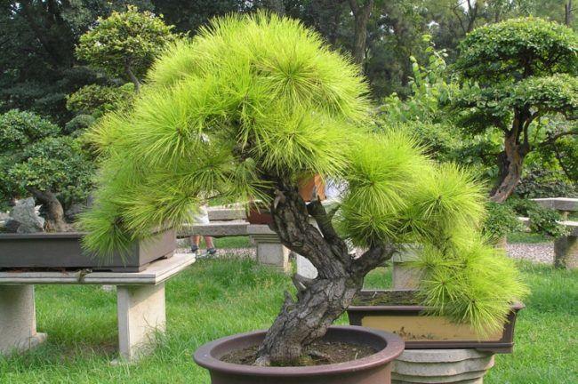 Bonsai Baum Gross Art Immergruen Nadeln Huebsch Pflanze Gute Ideen