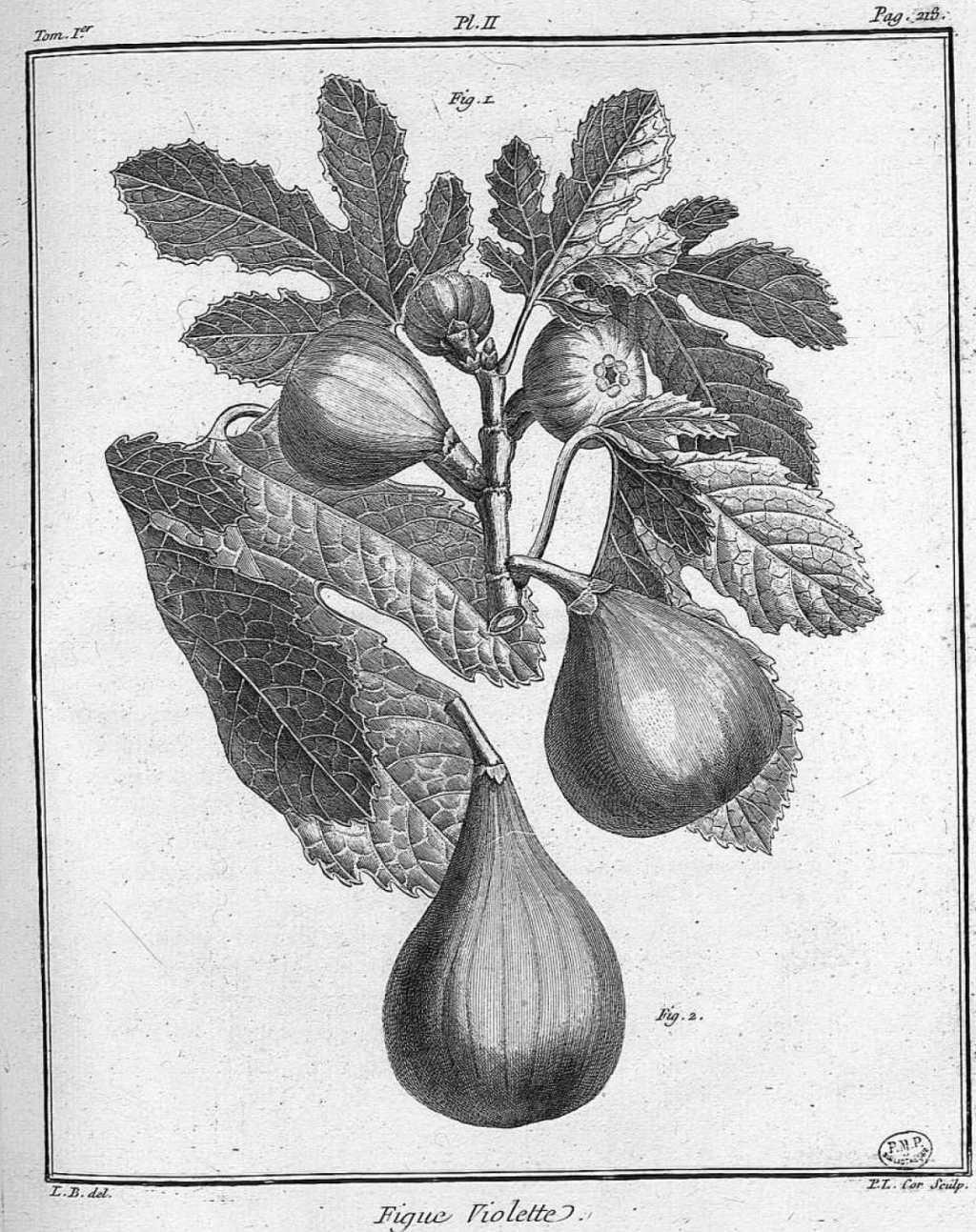 Dessins gravures de fruits et arbres fruitiers tir s de - Dessin figuier ...