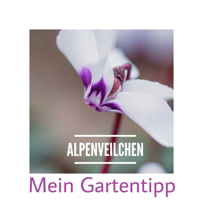 Tipps Fur Winterliche Alpenveilchen Im Garten Alpenveilchen Garten Gartentipps