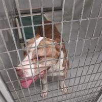 Conroe, TX - American Pit Bull Terrier. Meet RONALD a Pet for Adoption. #plotthound