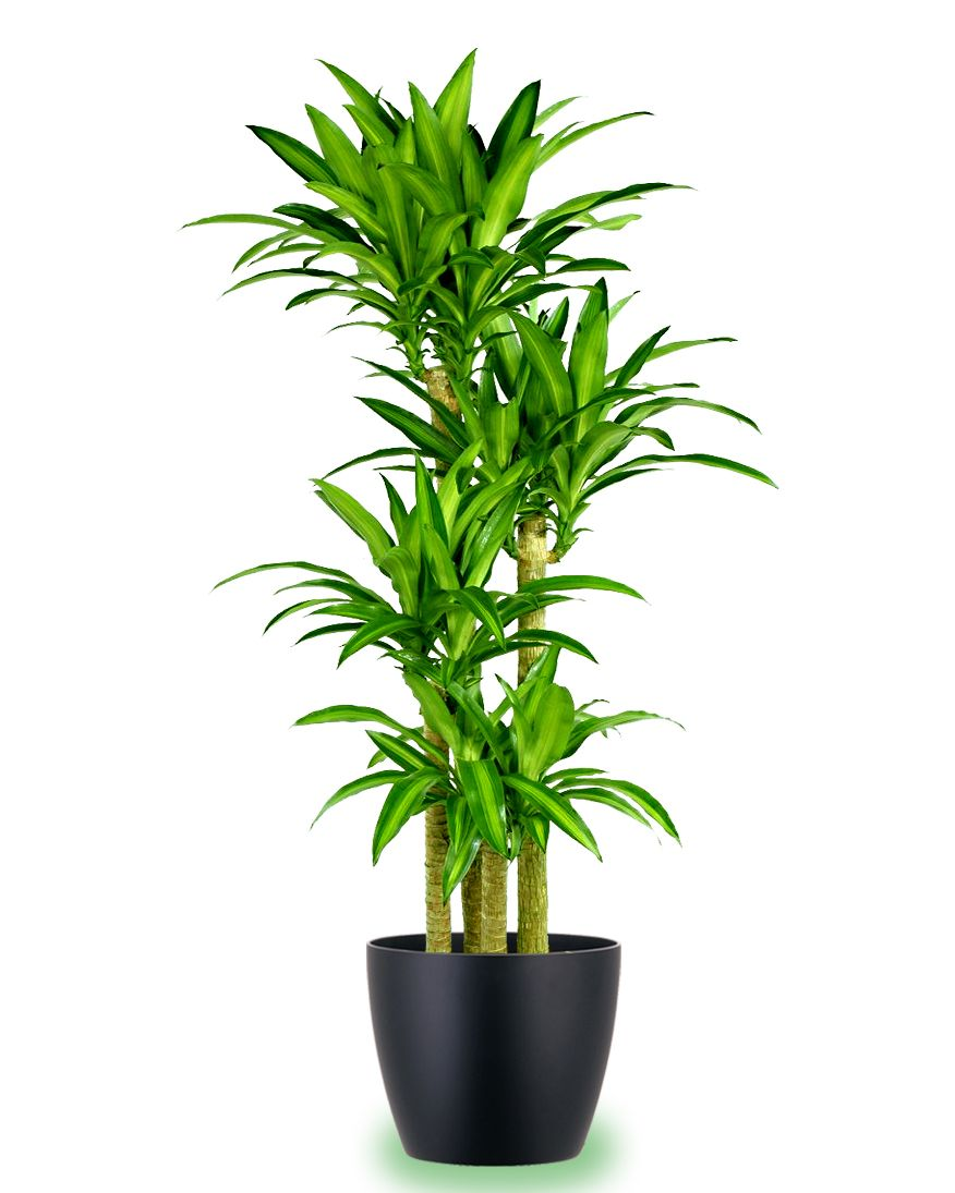 The top 10 most air purifying house plants plantas for Jardineria y plantas