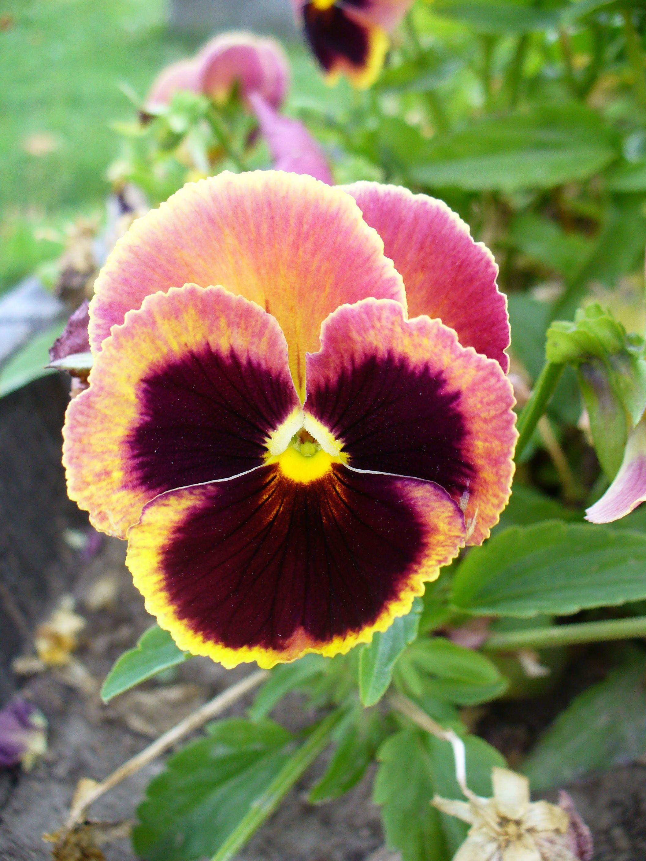 Pin by Maliha Ahmed on flowers Flower seeds, Pansies