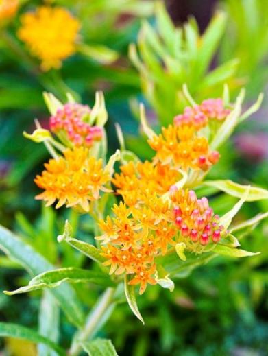 Asclepias Comment Les Cultiver Gardening Pinterest Orange