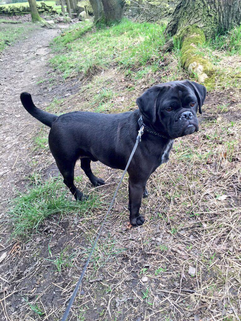 Puggle In The Woods Dog Blackpuggle Puggle Black Puggle Pug