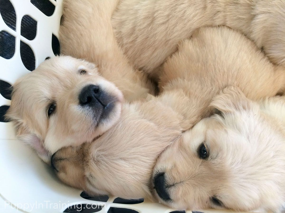 Our Litter Of Golden Retriever Pups Week 5 (With images