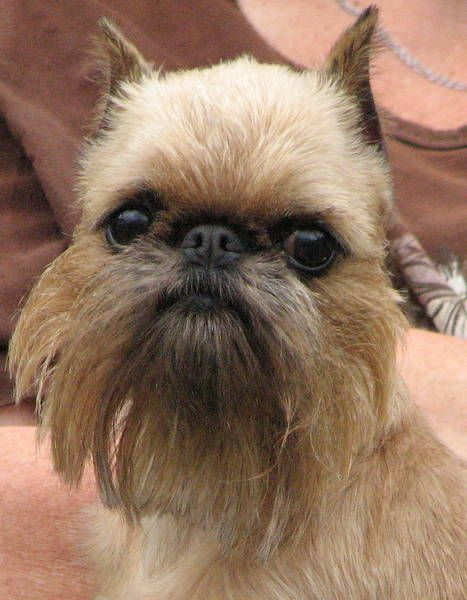 Dogs That Look Like Grumpy Old Men