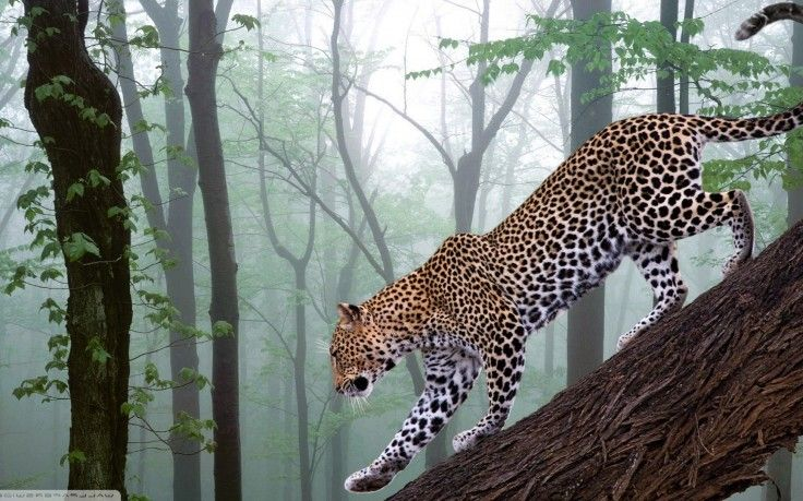 Animals Nature Leopard Wallpapers Hd Desktop And Mobile