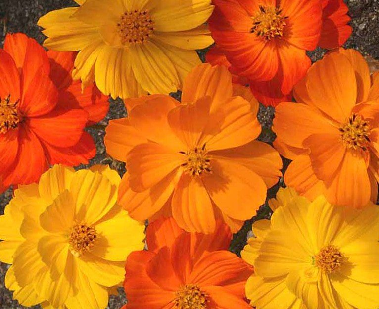 Pin By Nora Burns On Gardening Outdoors Cosmos Flowers Annual Flowers Flower Seeds