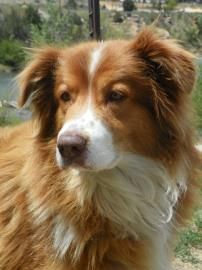 Adopted Colorado Wallingsworth Is A Neutered 5yo Border