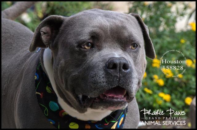 American Bulldog dog for Adoption in Grand Prairie, TX