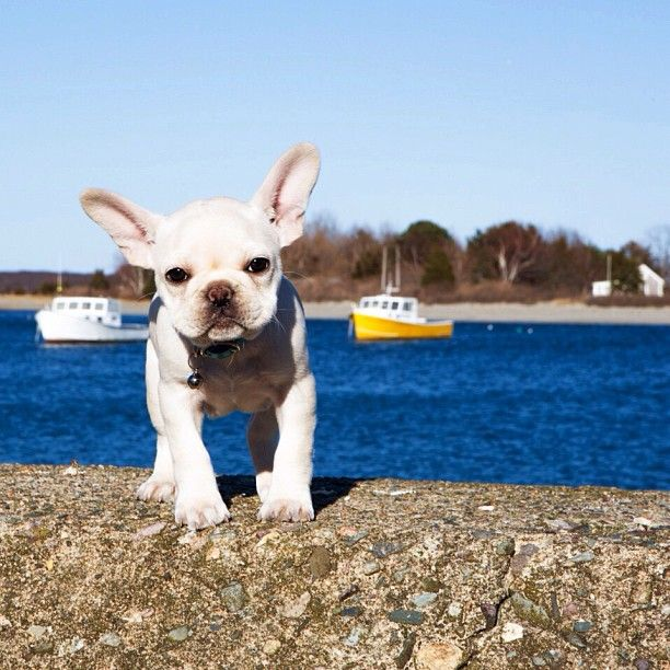 French Bulldog Puppy, better known as the 'Harbor Rat', #frenchie #frenchbulldog…