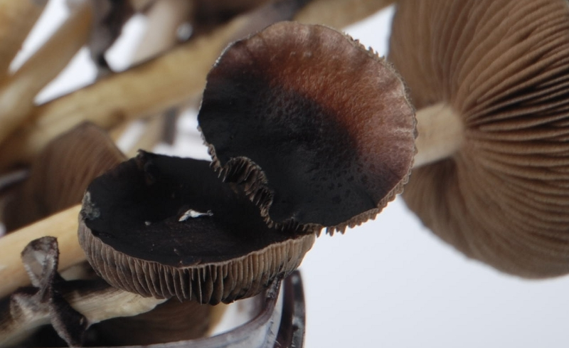 Golden Teacher Magic Mushrooms Spores | Shroomery | Mushroom