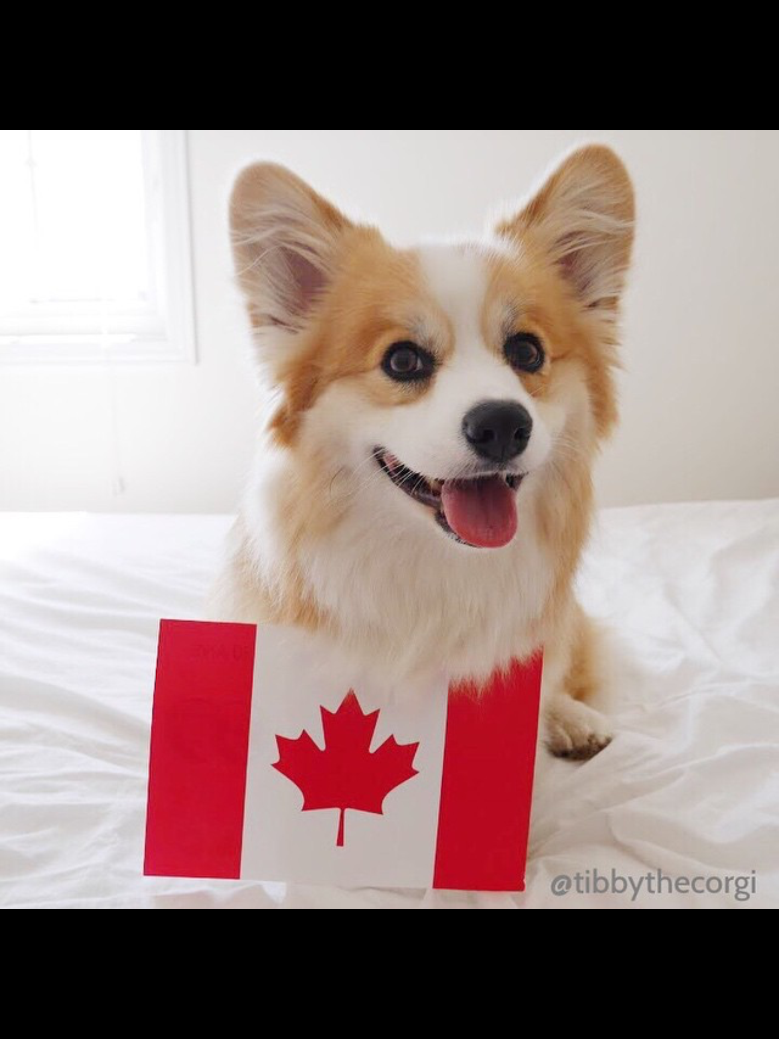Pin By Cookie441 On Corgis Only Corgi Dogs Animals
