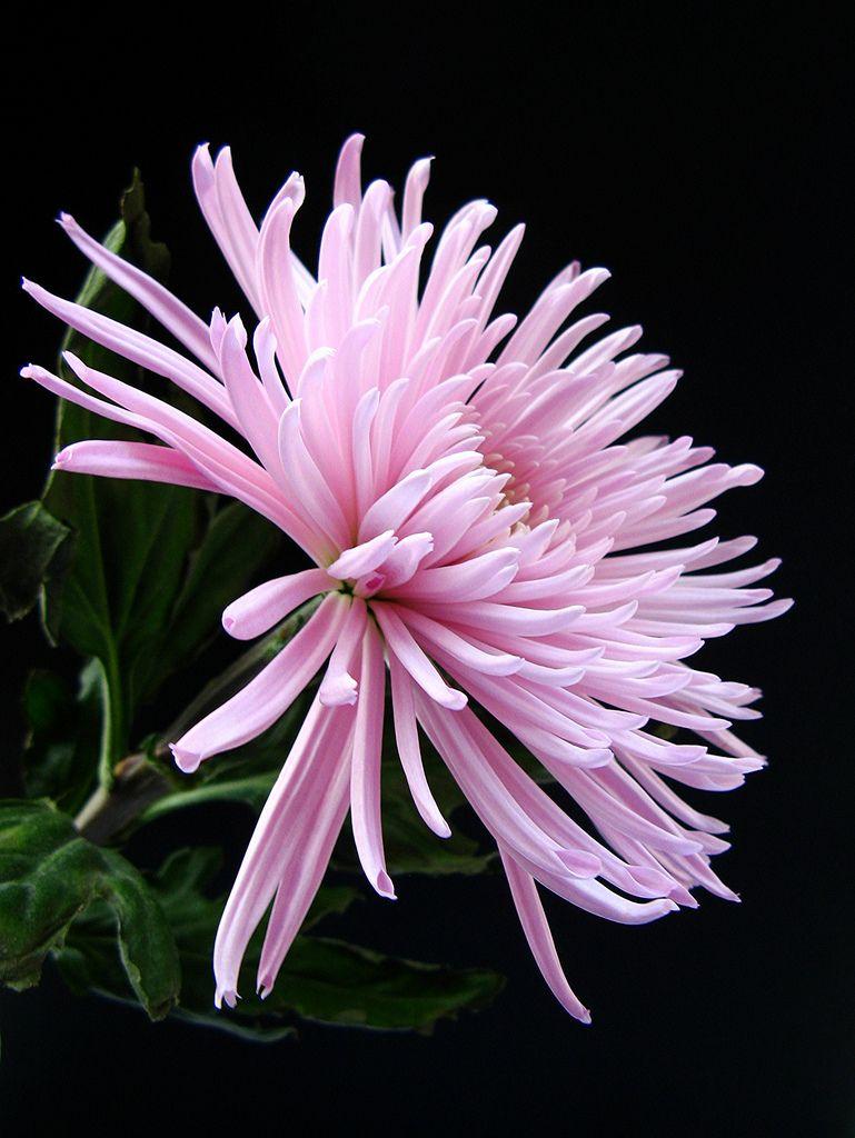 Chrysanthemum by katsu333 beautiful flowers