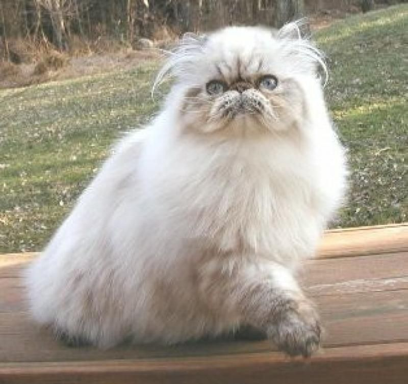 Persian himalayan cat prices